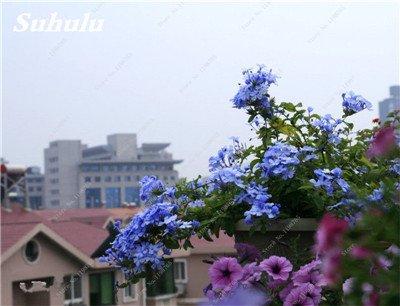 50 Pcs Arabis Alpina neige Graines de pointe extrême froid résistant jardin Bonsai Rare Belle plante et mur fleur Arabette 14