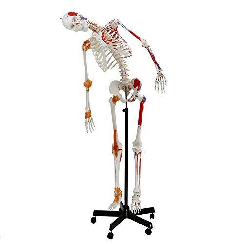 WLKQ Muskel Skelett-Modell lebensgroß, Menschliches Skelett, mit Muskelbemalung, Ligamenten,Flexibler Wirbelsäule,Nummerierung, Anatomieposter - Anatomie-Modell als Lernmodell oder Lehrmittel 180cm