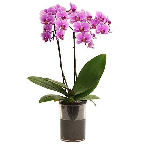 ミニ胡蝶蘭 タンブラーポット4号鉢植え 2本立て /お中元 ギフトに花のプレゼント 開店祝いに 母の日 (ピンク)