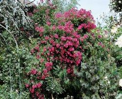 'Maria Lisa', Rambler-Rose in A-Qualität Wurzelware