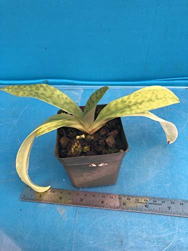 """Bio-Saatgut nur Nicht Pflanzen: Paphiopedilum hennisianum (MachOne X SIB) Orchideesorte 2"""" von FäHRE"""