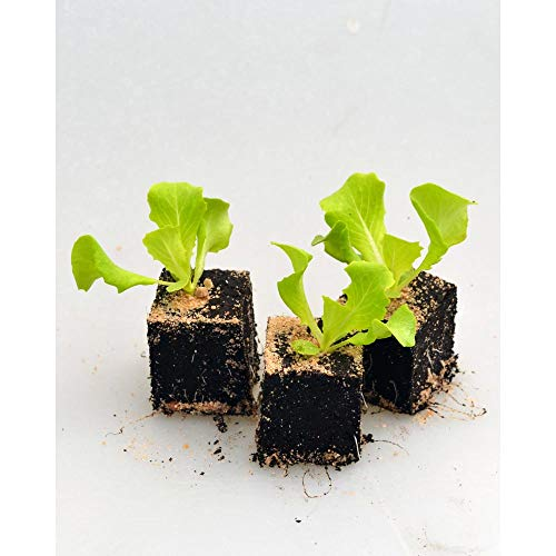 Gemüsepflanzen - Kopfsalat grün/Mona - Lactuca sativa var. capitata - Asteraceae - 12 Pflanzen