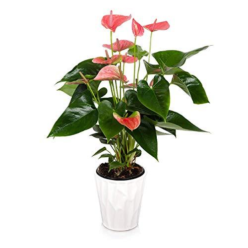 Just Add Ice JAI261 Anthurium Easy Care Live Plants, 5' Diameter, Pink