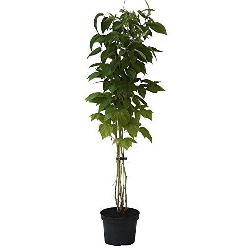 Müllers Grüner Garten Shop Himbeerepflanze Lubera (R) Twotimer (R) Sugana (S) zweimal tragende Himbeere 40-60 cm 2-3 Liter Topf