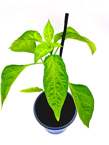 Balkon Paprika Pflanze CAPSICUM ANNUUM 'MIDIRED' Gemüse Pflanze 1stk.