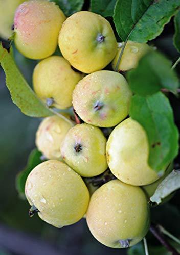 Miniapfel Gold Kitaika, Apfelbaum...