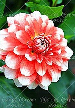 Fash Lady Echte Dahlienzwiebeln, DahlienblüTen, (Nicht Dahliensamen), Bonsai Blumenzwiebeln, symbolisiert Mut und Glück, Hausgarten Pflanze-2 Zwiebeln 9