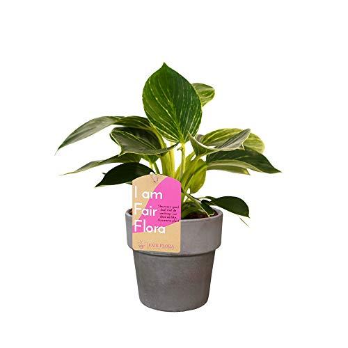 Zimmerpflanze von FAIR FLORA – Baumfreund in grauem Übertopf als Set – Höhe: 35 cm – Philodendron White Wave