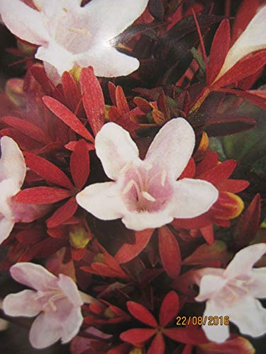 Abelia grandiflora Sherwood - Großblumige Abelie Sherwood