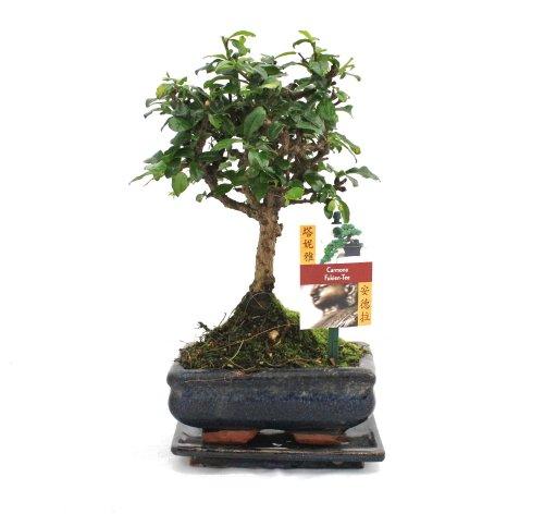 Exotenherz - Bonsai Fukientee - Carmona microphylla - ca. 6 Jahre - Kugelform