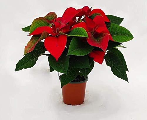 PLANTA DE NAVIDAD NATURAL 50cm - Poinsettia roja - PASCUERO - Flor de Pascua - CON DEDICATORIA