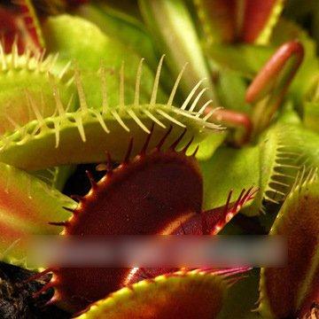 20 PCS/Paquet Graines de plantes insectivores Potted Dionaea géant Clips Dionée Graines Plante carnivore