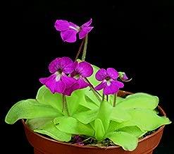 * Pinguicula Elizabethiae * Mexican Butterwort Carnivorous * Rare * 10 Seeds *