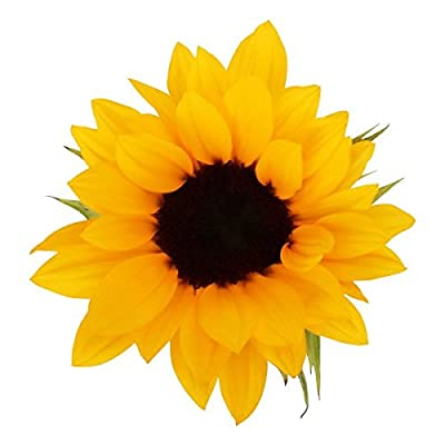 20 Sunflowers - Sunflowers Variety - Large Blooms by