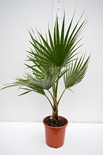 Washingtonia robusta - Mexikanische Washingtoniapalme - verschiedene Größen (100-130cm - Topf Ø 26cm)