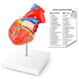 YOOVEE Anatomical Heart Model, 2-Part Life Size Human Heart Replica Accurate Numbered Heart Medical Model, Held Together with Magnets