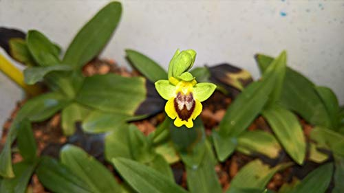 Fly-like orchid flower