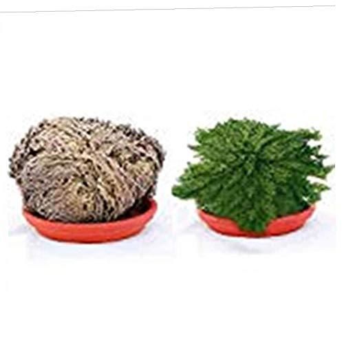 Onsinic 1Pcs resurrección de la planta - Rosa de Jericó Planta dinosaurio Aire helecho musgo vivo de Spike