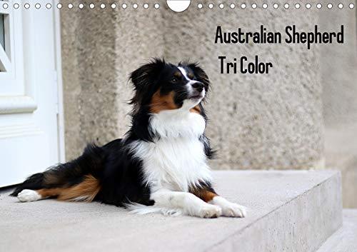 Australian Shepherd Tri Color (Wandkalender 2021 DIN A4 quer)