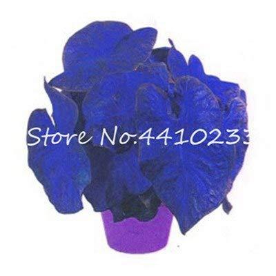 Bloom Green Co. Hot 120 Unids Colorido Caladium Bonsai Quemado Rosa Oreja de Elefante Hermosa Bicolor Bonsai Flor en maceta Plantas para el jardín: 3