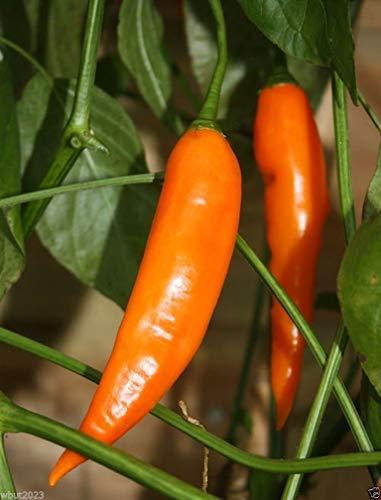 100 Seeds Aji Amarillo Chile Seeds …