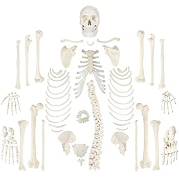 Axis Scientific Complete Disarticulated Human Skeleton Bundle Includes 3 Part Human Skull Life Size Bones Articulated Hand and Foot Anatomy – Includes Detailed Product Manual and 3 Year Warranty