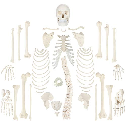 Axis Scientific Complete Disarticulated Human Skeleton Bundle, Includes 3 Part Human Skull, Life...