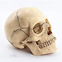 教育モデル1:人間の頭蓋骨の解剖学的骨格の2つのモデル医学教育教育、医療行為、学生、装飾臨床検査のための15個