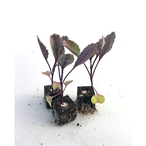 Gemüsepflanzen - Rotkohl / Rotkraut - Brassica oleracea var. capitata - 12 Pflanzen