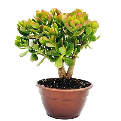 Crassula Ovata Planta de Jade 45cm Planta Natural Grande en Maceta