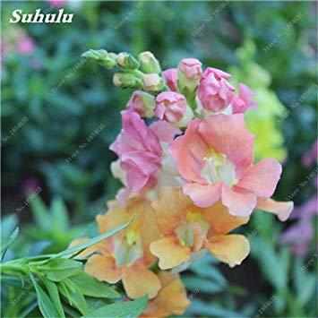 VISTARIC 60 Samen/Pack, Garten-Levkoje Samen, Veilchen Blume, Topfpflanze Balkon Blumensamen