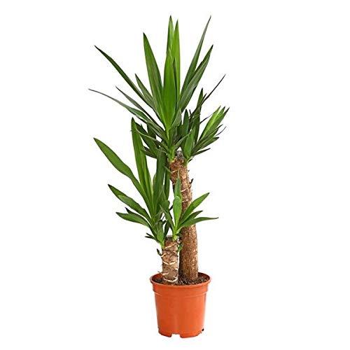 Yucca Elephantipes 100 cm 2 Stämme - Riesen-Palmlilie Sonderposten Zimmerpflanze