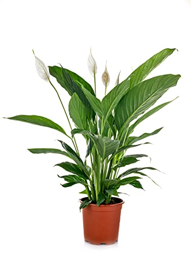Planta Spathiphyllum - Lirio de la Paz Espatifilo natural en maceta de Ø13cm (altura...