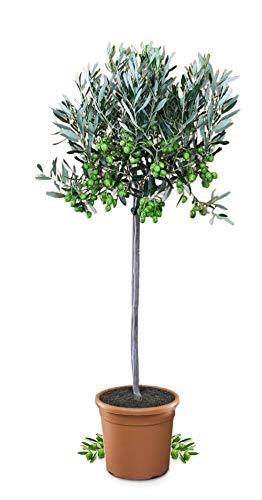 Meine Orangerie Olivenbaum Mezzo - echter Olivenbaum - 80 bis 100 cm - Olea Europaea - Olive Tree - Fruchtreifes Stämmchen in Gärtnerqualität