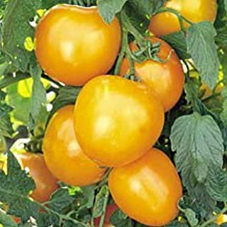 Golden Jubilee Tomato 25+ Seeds