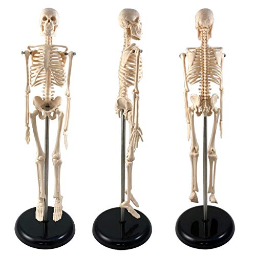 Human Skeleton Model for Anatomy |Human Skeleton Model with Metal Stand - 17 Inches Tall with Removable Arms and Legs | Scientific Model for Study
