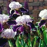 Adolenb Seeds House- 50 Pièces Dutch Iris Autumn Princess, Iris Seeds Hardy Iris Mix Pourpre/Blanc Bonsaï Rare Vivace Fleur Graines Maison Jardin