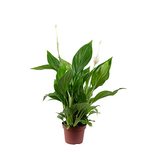 Einblatt - Spathiphyllum Yess - Höhe ca. 30 cm, Topf-Ø 9 cm