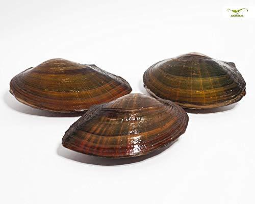 Teichmuschel für den Gartenteich + 1 x NH ToxEx Ball - schwebe Algen vernichter/Algenkiller/Biofilter für Teich, Menge:3 STK.