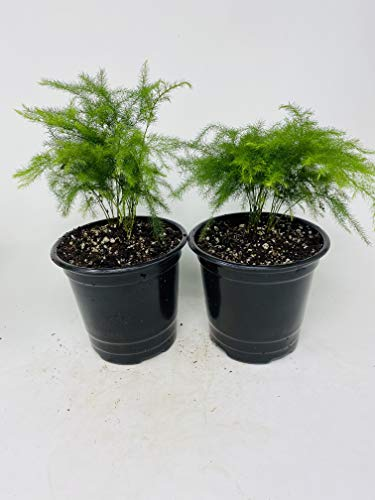 Two Fern Leaf Plumosus Asparagus Fern 4.5' Unique Design Pot - Easy to Grow - Great Houseplant from...