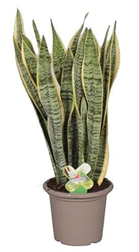 Bogenhanf (Sansevieria laurentii),...