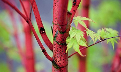 AKA KAWA HIME Japanese Maple - Bright RED BARK in The Winter - A Dwarf of The Coral BARK Maple - 3 - Year Tree
