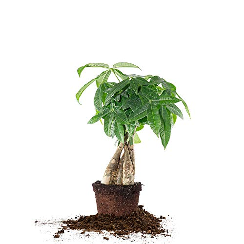 Perfect Plants Money Tree - 5in. Growers Pot | 12 - 14in. Tall | Braided Pachira Aquatica | Super Easy Care, Thrives in Any Indoor Environment (5in. Growers Pot)