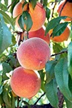 Pixies Gardens (1 Gallon) Belle of Georgia Peach Tree, Fruit are Large in Size, Skin has a Light Color with a red Cheek, Excellent Flavor, ripens mid to Late Season.