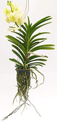 ORCHIDEA WANDA BIANCA, pianta vera