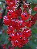 pianta di Ribes o Ribes rubrum frutto rosso v17 pianta da esterno da mangiare