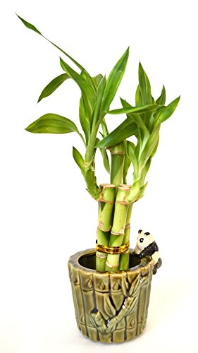 9GreenBox Lucky Bamboo - Ceramic Panda Vase