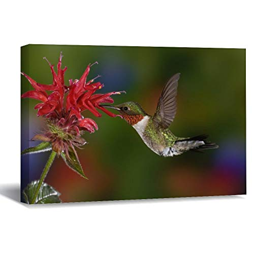 Male Ruby-Throated Hummingbird Feeding On Canvas Picture Painting Artwork Wall Art Poto Framed Canvas Prints for Bedroom Living Room Home Decoration, Ready to Hanging 16'x24'