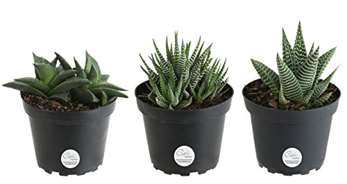 Costa Farms Succulents Fully Rooted Live Indoor Plant
