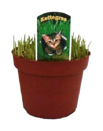 Semillas de Hierba Gatera Planta Natural para Gatos Sobre de Semillas: Amazon.es: Jardín